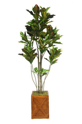 81 Inch Tall Croton Tree With Multiple Trunks In Planter