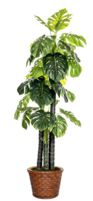 Laura Ashley 81 Inch Tall Indoor/Outdoor Monstera Ceriman In Fiberstone Pot