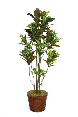 77 Inch Tall Croton Tree With Multiple Trunks In Planter
