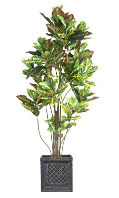 78 Inch Tall Croton Tree With Multiple Trunks In Planter
