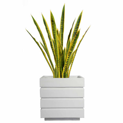 41 Inch Tall Snake Plant In Modern Planter
