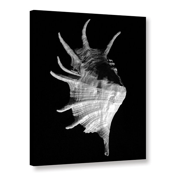 Brushstone Giant Spider Conch Seashell -Lambis Truncata Gallery Wrapped Canvas