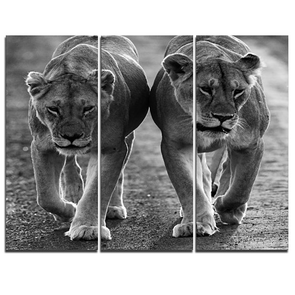 Designart Lions In Black And White Animal Photo Canvas Art - 3 Panels
