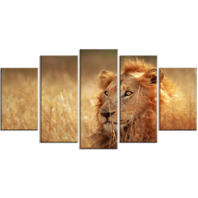 Relaxing Lion in Grassland African Wrapped CanvasArt Print - 5 Panels