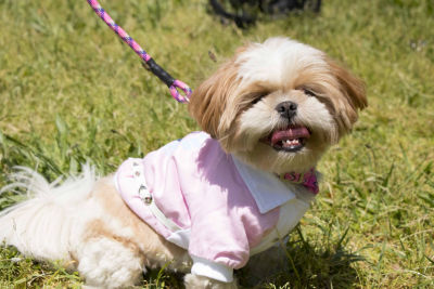 The Pet Life Varsity-Buckled Collared Pet Coat