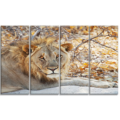 Designart Solitary Lion Taking Rest in Forest African CanvasArt Print - 4 Panels