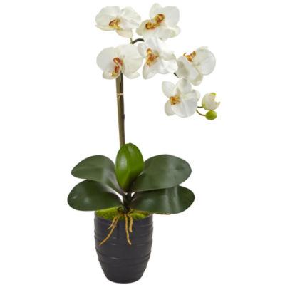 Phalaenopsis Orchid in Black Vase