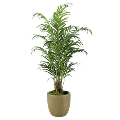 Kentia Palm in Resin Planter