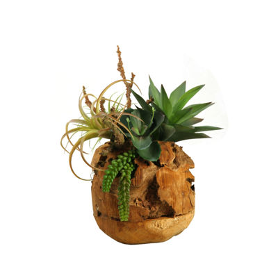 Air Tillandsia Agave Plant and Wild Succulent in Wooden Root Ball