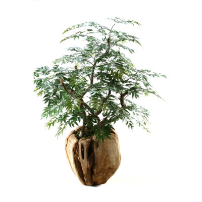 Ming Aralia Bonsai Tree in Wooden Root Ball Planter