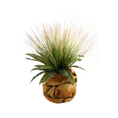 Tall Onion Grass and Dracaena Leaves in Wooden Root Ball