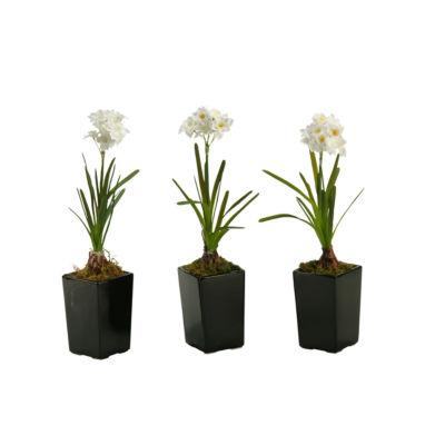 Paperwhite Bulb in Ceramic Planter Set of 3