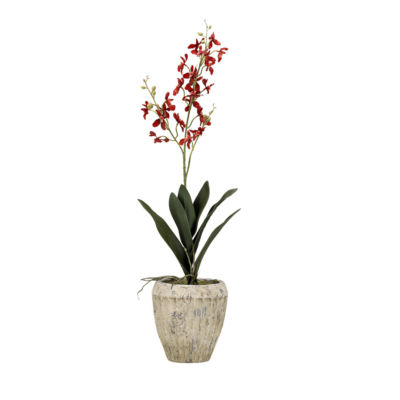 Red Baby Dendrobium Orchid in Cement Planter