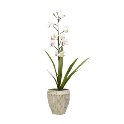 Cream Cymbidium Orchids in Cement Planter