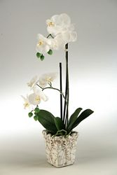 "Classic Orchids- ""23H"
