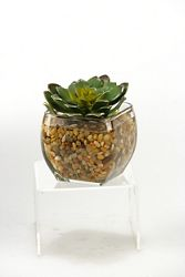 "Echeveria In Glass- 5""H"