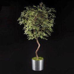 Maidenhair Tree - 7 Ft.