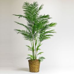 6 Foot Tall Areca Palm Tree with Woven Pot