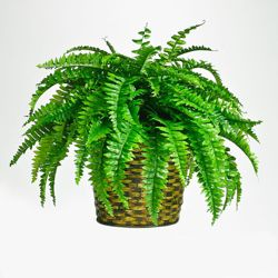 Artificial Fern in Woven Basket - 2 Ft.