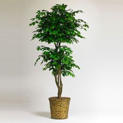6 Foot Ficus Plant with Woven Basket