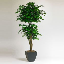 6 Foot Tall Potted Ficus