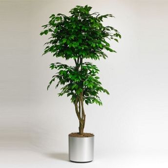 Realistic Indoor Ficus Tree - 7 Ft. - 87362 and more Lifetime Guarantee
