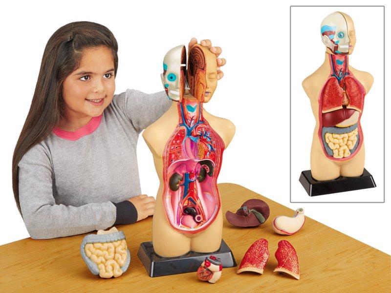 Take Apart Human Body Model At Lakeshore Learning