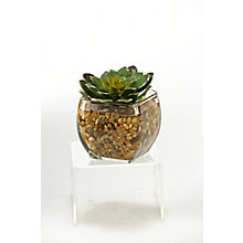 "5""H- Echeveria In Glass , 8822805"
