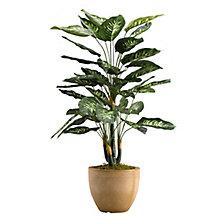 """36""""H- Diffenbachia Plant, 8822902"""