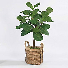 4.5'H Fig Tree in Basket, 8813505