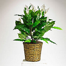 3'H Artificial Spath Plant in Woven Pot, 8813525
