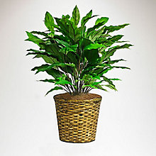 3'H Green Spathiphyllum in Woven Basket, 8813527